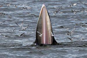 Ảnh động vật ấn tượng: Mòng biển suýt rơi vào bụng cá voi, bò tót tắm bùn