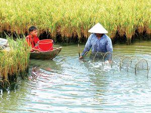 ĐBSCL: Tìm cách gỡ khó cho mô hình sản xuất tôm - lúa