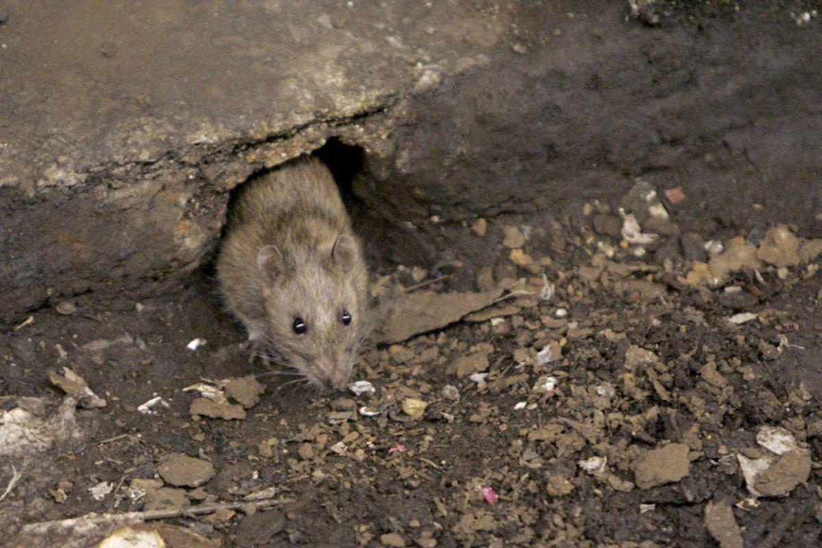 Thành phố nhiều chuột nhất nước Mỹ 6 năm liên tiếp