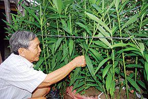 Làm giàu nhờ trồng cây hiếm - 'Nhất cử lưỡng tiện' với mai gan