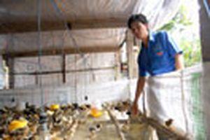 Làm giàu từ nuôi gà
