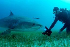 Rợn người cảnh nhiếp ảnh gia tiếp cận cá mập hổ