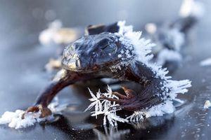 Những trường hợp động vật bị đóng băng gây sốc