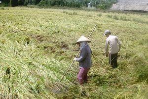 ĐBSCL: Mưa làm lúa hè thu đổ ngã hàng loạt