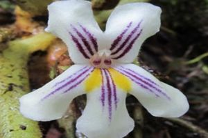 'Của hiếm núi rừng': Đẹp như loài hoa sống trên đá