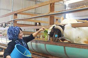 Chuyện ở trang trại dê sữa lớn nhất Việt Nam