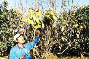 Đồng bằng sông Cửu Long: Dịch bệnh hoành hành vườn cây ăn trái