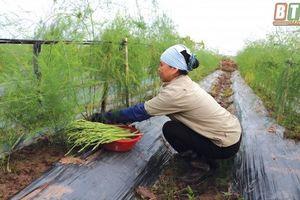 Chỉ trồng măng tây, vào vụ lãi 80 triệu đồng/tháng