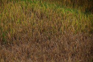 Bắc Kạn nhiều địa phương bị bệnh lùn sọc đen hại lúa