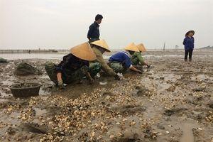 Vựa ngao Hải Lộc chết trắng bãi, chính quyền dửng dưng như không!