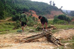 Thương lái thu mua ồ ạt cây Ba chạc, dân đổ xô vào rừng 'săn tìm'