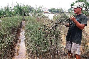 Nhiều làng hoa Tết nổi tiếng ở xứ Huế tan hoang sau lũ