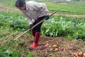 3.000 tấn khoai tây Pháp vào Việt Nam: Khoai Việt có đủ sức cạnh tranh?