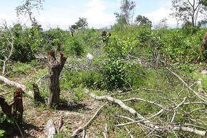 Bình Thuận xuất hiện điểm nóng phá rừng trồng thanh long
