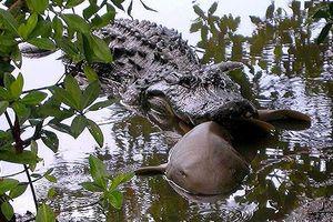 Đây là minh chứng cho tính ăn tạp của cá sấu