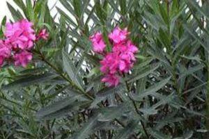 10 loại cây quen thuộc vô cùng nhưng nhỡ nuốt dù chỉ một milimet cũng chết bất đắc kỳ tử