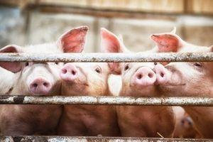 Giá cả thị trường hôm nay (16/11): Giá lợn hơi tại miền Bắc giảm nhẹ so với hôm qua