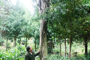 Người sở hữu 2.500 gốc sa mu, pơ mu quý hiếm ở Nghệ An