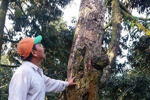 Người trồng sầu riêng ở Tiền Giang mất nhiều tỷ đồng vì mưa giông