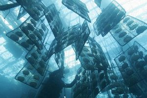 Kỳ thú cảnh nuôi cấy ngọc trai đắt đỏ dưới biển