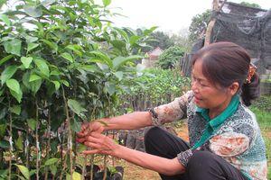 Bài cuối: Sớm áp dụng quy trình trồng cam sạch bệnh