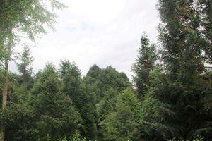 Cả rừng gỗ quý hiếm của lão nông 'dở hơi'