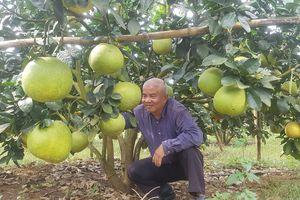 Lão nông Hòa Bình chờ Tết đến để thu 3 tỷ đồng từ bưởi da xanh