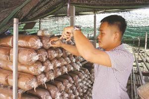 Làm giàu từ sản xuất phôi nấm