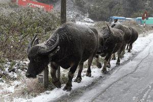 Số gia súc chết rét Yên Bái lên 187 con