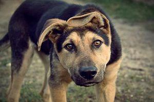 Cú cắn của loài chó và kỷ lục bất ngờ nhất TG động vật