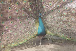Trại chim công cho lãi trăm triệu mỗi năm của thanh niên miền Tây