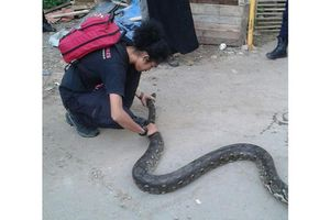 Sống chung với rắn ở Jakarta