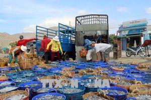 Ngư dân Ninh Thuận trúng đậm 'lộc' biển đầu xuân