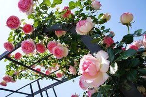Hơn 1.000 cây hoa hồng Bun-ga-ry sắp xuất hiện ở Hồ Tây