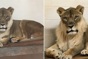 Vườn thú lo lắng khi sư tử cái ngày càng trở nên 'nam tính'