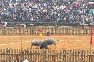 Phú Thọ: Trâu chọi thắng hay thua đều không bị giết thịt sau lễ hội