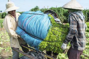Đau với rau 1.000 đồng: Dân dùng cho bò ăn, bón phân