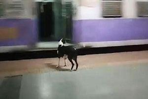 Cứ 11h đêm, con chó nhỏ này lại tới ga tàu để làm một điều lạ lùng