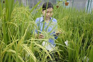 Hiệu quả nhân giống lúa thuần ở Vĩnh Long