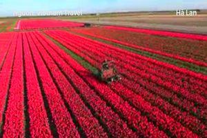 Chiêm ngưỡng vẻ đẹp những cánh đồng hoa tulip ở Hà Lan