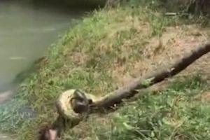 Giải cứu chú chó khỏi trăn khủng anaconda