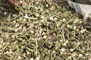 Chở tỏi tươi nơi khác về đảo 'dán mác' trồng tại Lý Sơn bán giá cao
