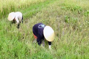 An Lão (Bình Định) nhiều diện tích lúa Đông Xuân bị sâu bệnh hại