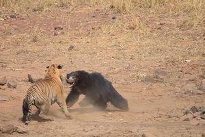 Gấu lợn quyết chiến với hổ để bảo vệ con