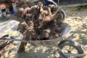 Hà Tĩnh: Bất ngờ thu hoạch được khoai vạc cực 'khủng'