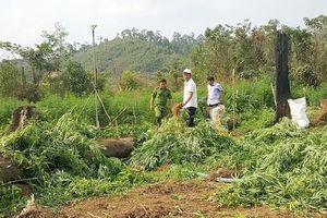 Phát hiện hơn 7.000 cây cần sa được trồng tươi tốt, chờ thu hoạch