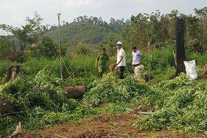 Ngang nhiên trồng hơn 7.000 cây cần sa với hệ thống tưới nước bài bản