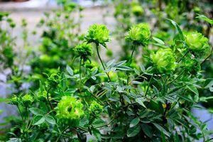 Hà Nội: Ngắm hơn 1.000 cây hoa hồng Bulgaria vào đúng ngày 8/3