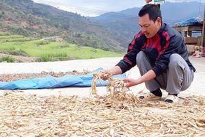 Cả làng đang đổi đời từ trồng sâm dây, sâm Ngọc Linh