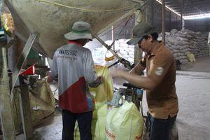 Phát hiện cơ sở làm giả 'lúa giống chất lượng cao' với quy mô lớn